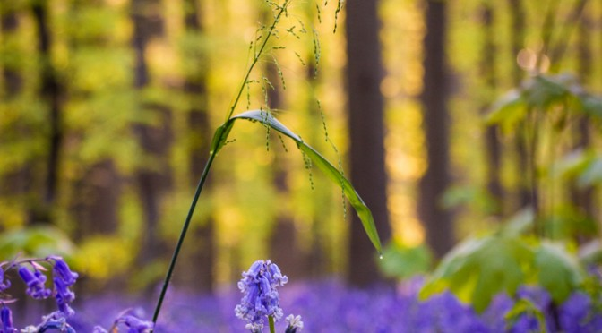 Hyacinten in Hallerbos